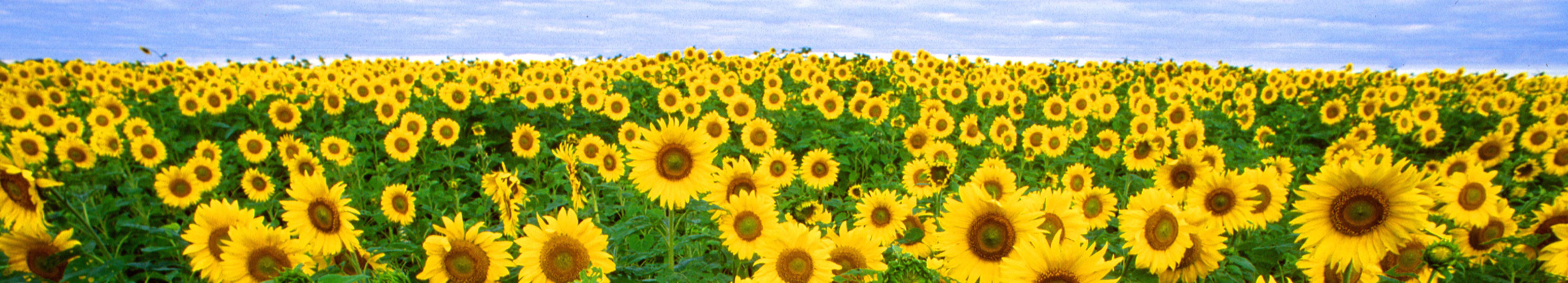 images/sunflowers.jpg